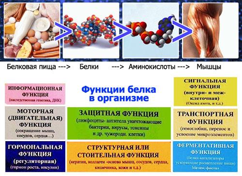 Аминокислоты в организме человека