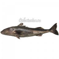 Треска чёрная (угольная рыба)