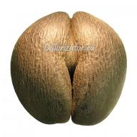 Орех сейшельский Коко-де-мер