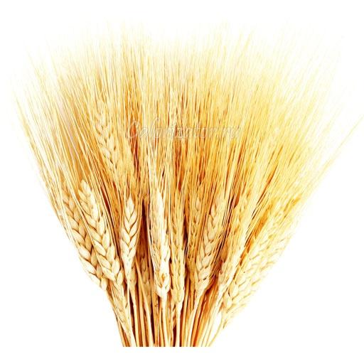 Пшеничные зерна мягких сортов