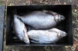 Шаг 2. По окончанию мариновки рыбу необходимо выпотрошить, очистить от грязи.